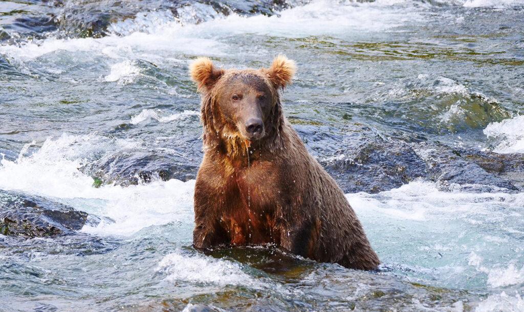 Réalisation d'un film documentaire sur le grizzly en Alaska par Gisèle Lafond